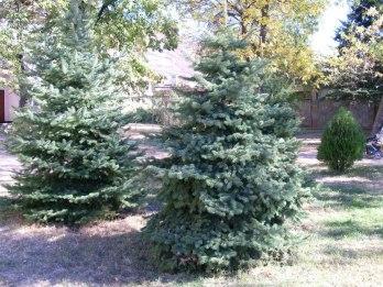 evergreen, pine