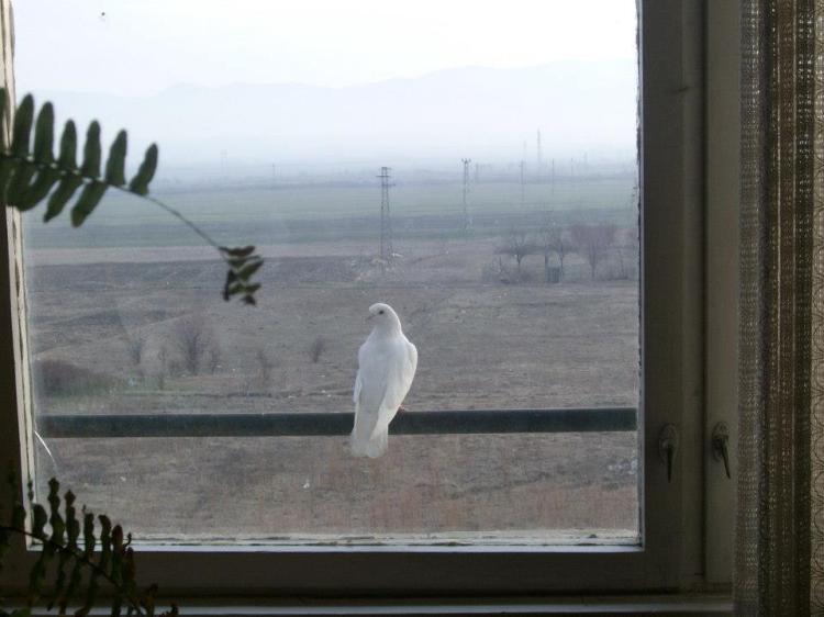 white dove; бял гълъб