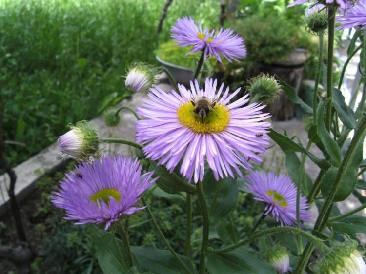 violet flower, bee