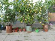 Лимоните в Иван Вазово, снимани от Симон Мартин