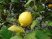 Лимон, сниман от Симон Мартин