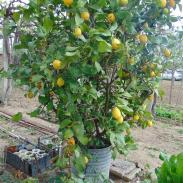 Лимони, снимани от Симон Мартин